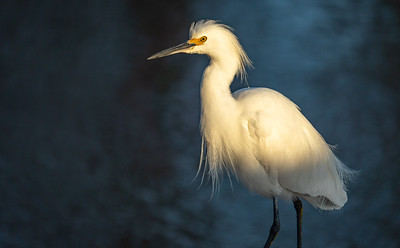 Snowy Egret of St. Mary's Parish