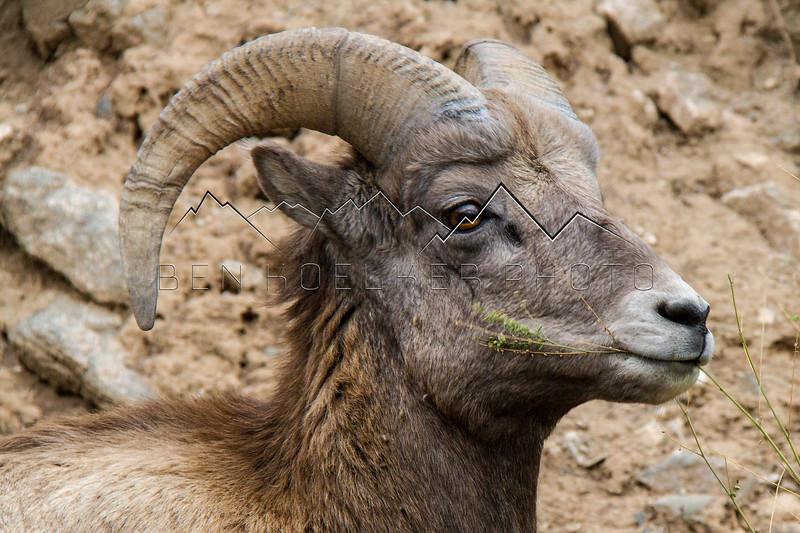 Bighorn Sheep in Gore Canyon, CO