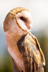 Owl in the Gore Range, CO