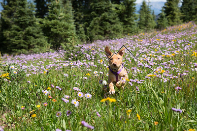 Scout Frollicking through a meadow on New York Mountain, CO