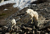 Mountain Goats on the lower reaches of Quandary Peak, CO