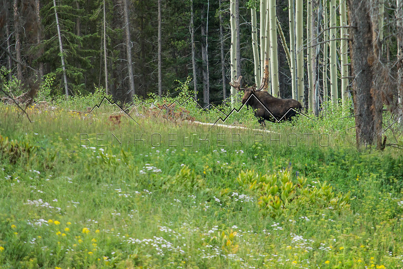 Bull Moose in the Gore Range, CO