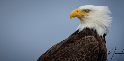 Bald Eagle of Alaska
