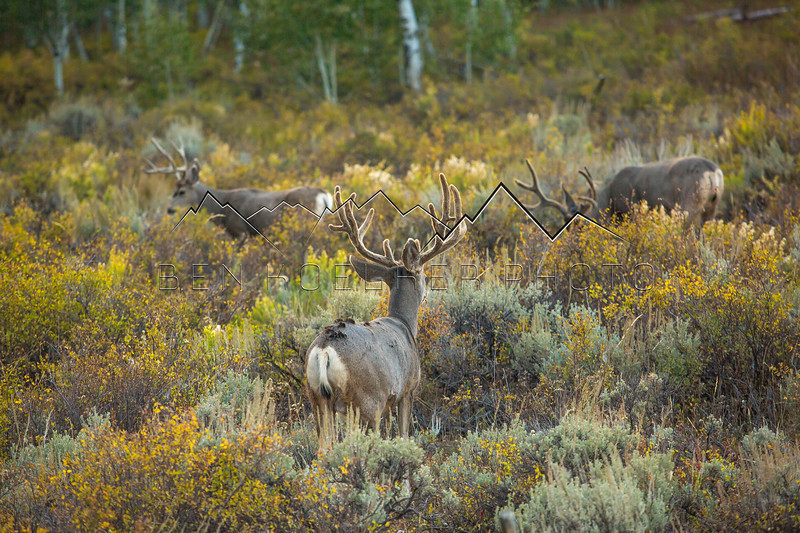 Mulie Bucks in Routt National Forest, CO