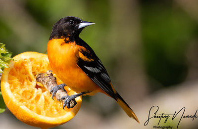 Baltimore Oriole Watching The Birders