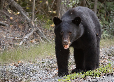 Black Bear of Alaska