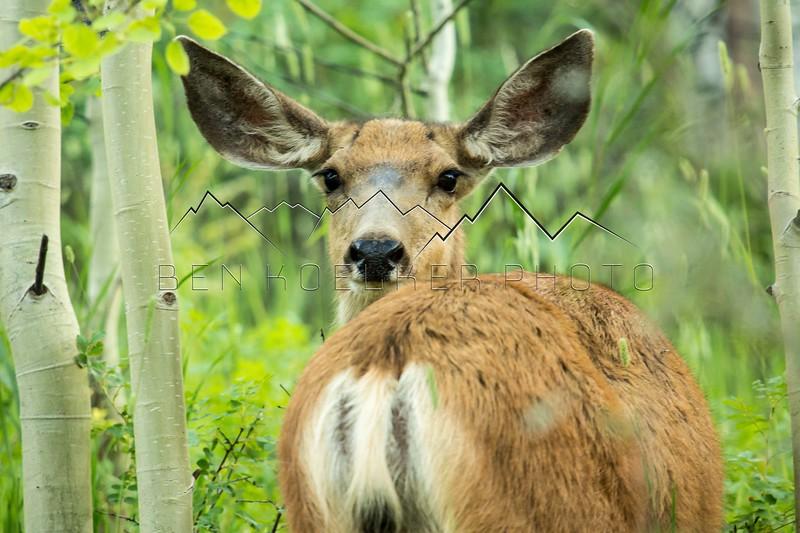 Mule Deer in the Colorado Backcountry