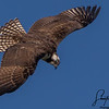 Ospry In Flight
