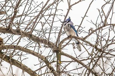 Blue Jay in it's Habitat!