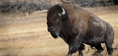 The Mighty Bison