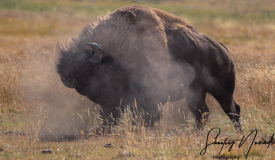 Doing The Bison Roll
