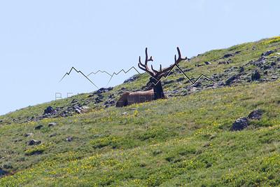 Elk in Rocky Mountain National Park, CO