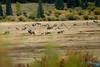Herd of elk rutting in Rocky Mountain National Park, CO