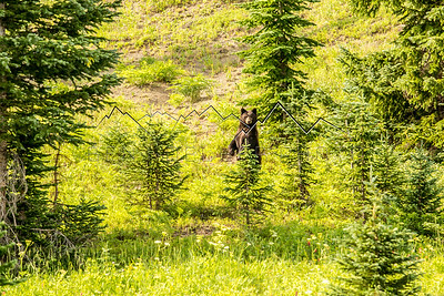 Large Black Bear in the Colorado Backcountry