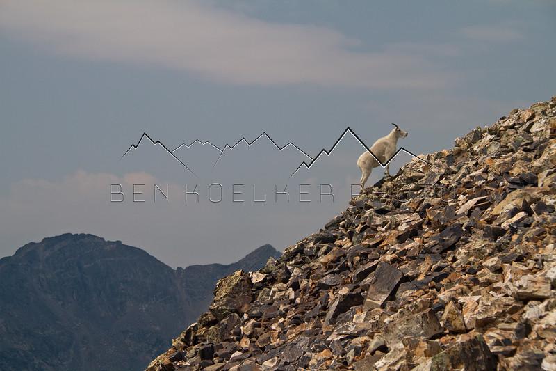 Mountain Goat on Quandary Peak, CO