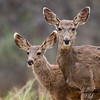 Mule Deer of New Mexico