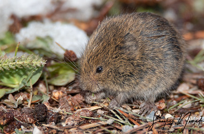 A Little Critter - Meadow Mouse