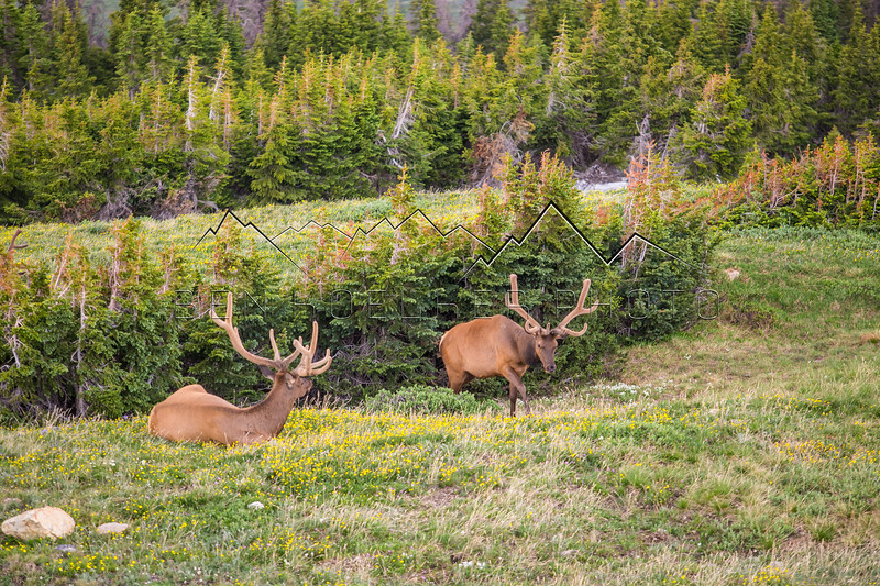 Elk in Rocky Mountain National Park, CO