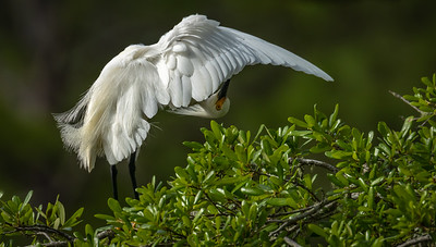 Egret Under The Feathered Umbrella (811)