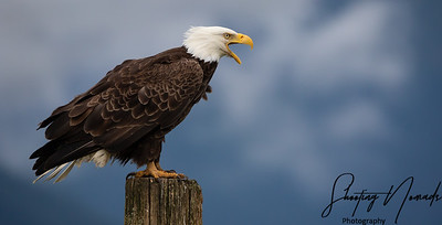 Bald Eagle Calling To Eagles