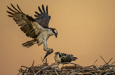 Osprey Parenting-A Slow Wean (827)