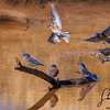 A Morning with Blue Birds