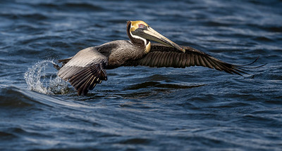 Brown Pelican Lift Off (806)