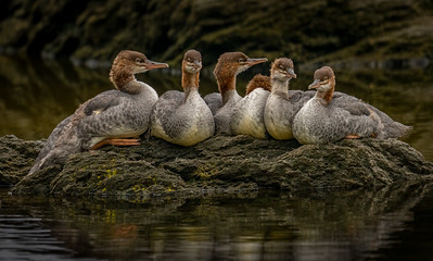 Young Merganser Siblings (822)