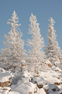 Snow laced trees