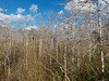 Dwarf Cypress Forest, Everglades
