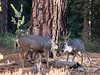 Muley Bucks Sparring, Yosemite Valley