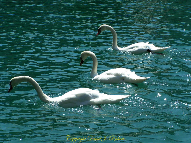 Swans on Thun River