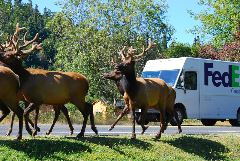 Elk on the Run with Fed Ex truck