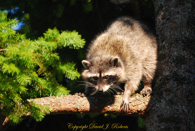 Racoon watches for fish