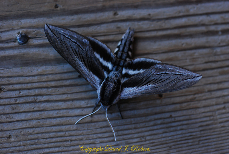 A beautiful moth in Winthrop, WA.