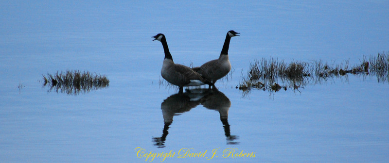 A noisy pair of Canada geese at dawn.