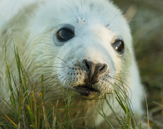 Curious Grey Seal Pup