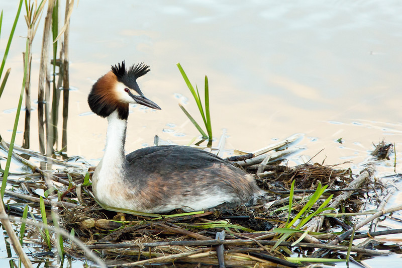Grebe in the Evening
