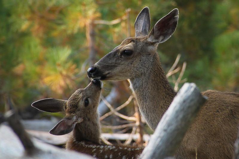 Nuzzling Deer