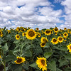 Sunflowers and Skies