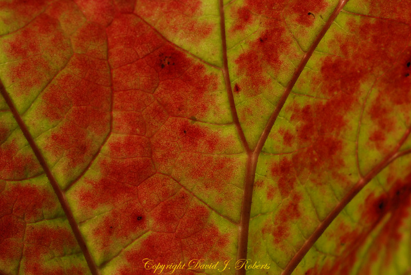 The arteries of a leaf in red and yellow