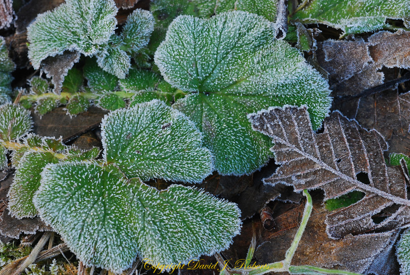 Frosty leaves on the forest floor