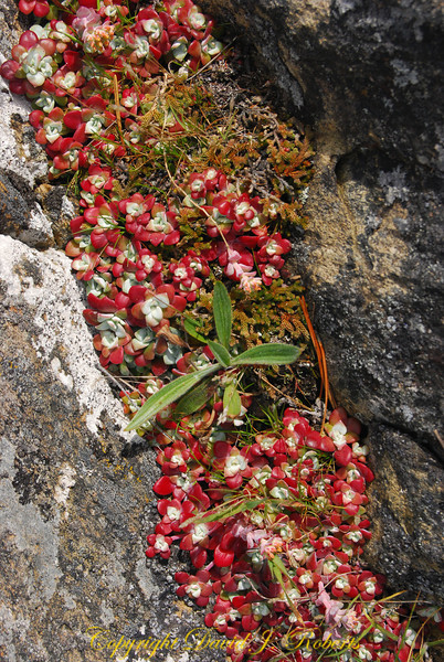Red succulents at Iceberg Point, Lopez Island