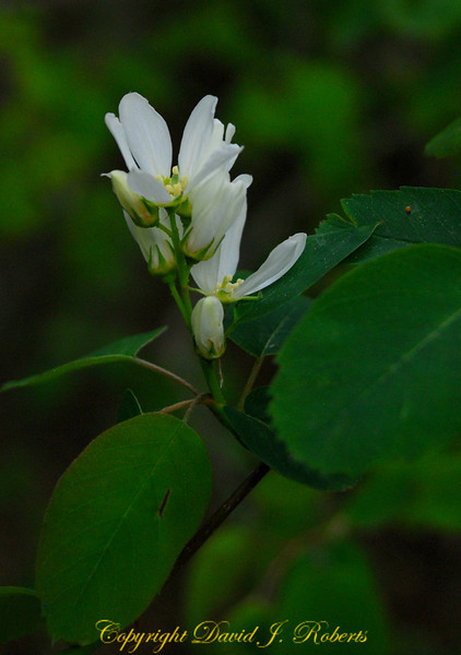Wild plum flowers