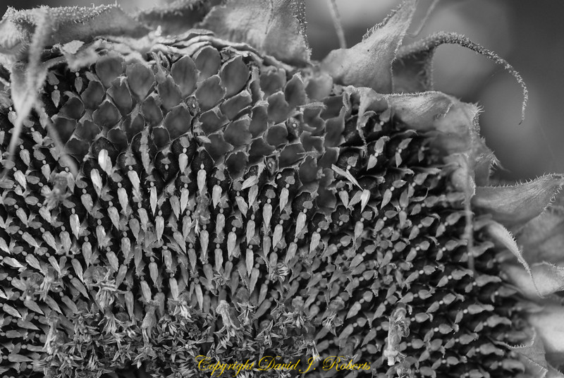 Black and white close up of a dried Sunflower