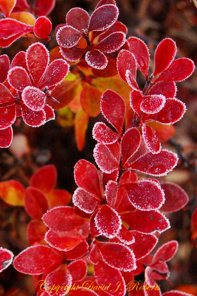 Barberry leaves with a touch of frost