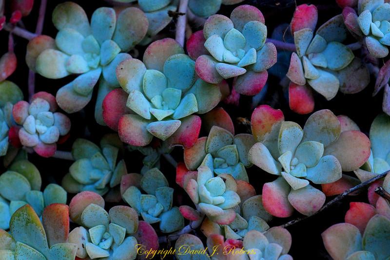 Succulents Gabriola Is