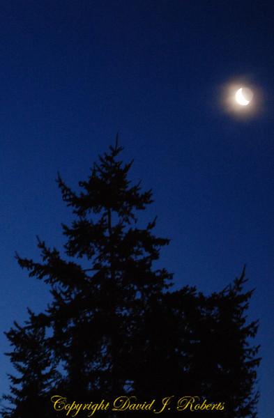 Moon tree Bellingham