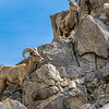 Bighorn Sheep at the Living Desert
