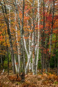 Fall color along the Quehanna Highway in north central Pennsylvania. These images are of a white birch forrest.